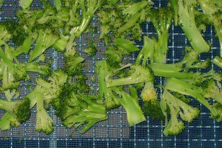 ブロッコリーなど野菜低温乾燥テスト